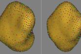 Shape analysis correspondences - amygdala