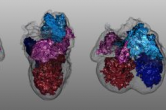 Segmentation of an embryonic mouse heart