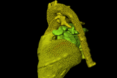 Particle mesh of a heart